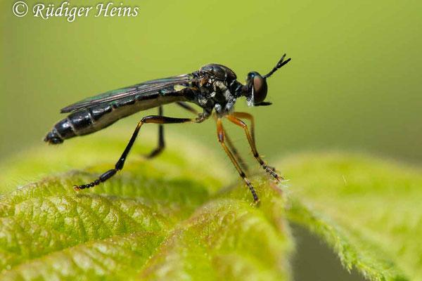 Dioctria hyalipennis (Gemeine Habichtsfliege) Männchen, 9.6.2020