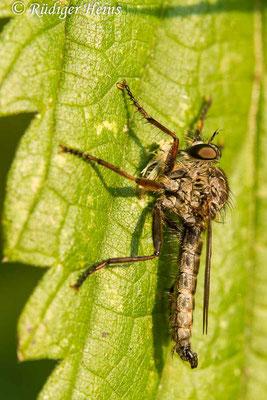Tolmerus atricapillus (Gemeine Raubfliege) Männchen mit Beute, 10.8.2020