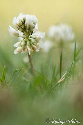 Trifolium repens (Weißklee), 19.6.2021