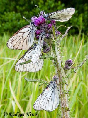 Aporia crataegi (Baum-Weißling), 17.6.2010