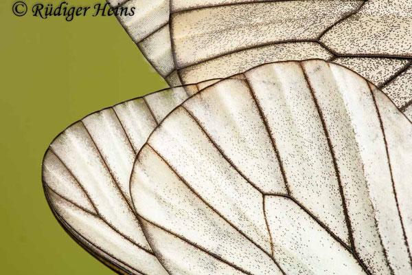 Aporia crataegi (Baum-Weißling), 8.6.2012