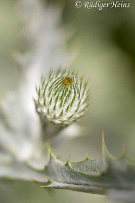 Onopordum acanthium (Gewöhnliche Eselsdistel) Knospe, 8.7.2019