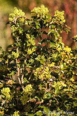 Mahonia aquifolium (Gewöhnliche Mahonie), 10.4.2020