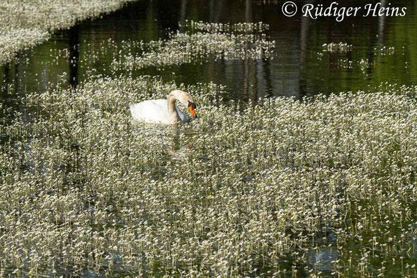 Ranunculus aquatilis (Gewöhnlicher Wasserhahnenfuß) mit Höckerschwan, 8.5.2020