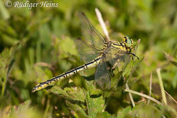 Stylurus flavipes (Asiatische Keiljungfer) Weibchen, 1.9.2009