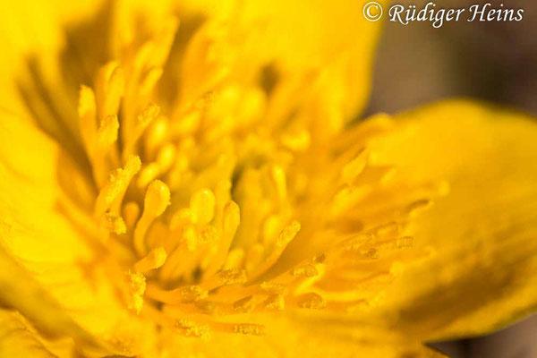 Caltha palustris (Sumpfdotterblume), 16.4.2020