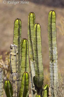 Euphorbia canariensis (Kanaren-Wolfsmilch), 31.7.2015