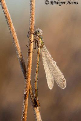 Lestes virens (Kleine Binsenjungfer) Weibchen, 3. November 2016 8:35 Uhr