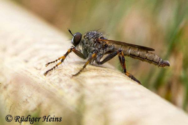 Tolmerus cingulatus (Burschen-Raubfliege) Männchen, 20.8.2020