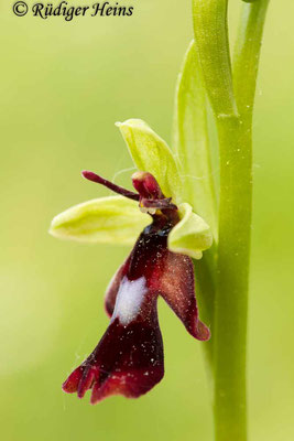 Ophrys insectifera (Fliegen-Ragwurz), 20.5.2015