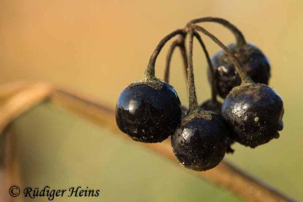 Solanum nigrum (Schwarzer Nachtschatten), 16.11.2018