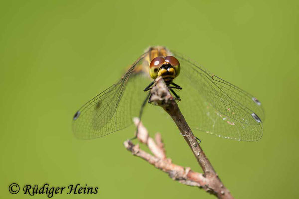 Sympetrum danae (Schwarze Heidelibelle) Weibchen, 3.8.2008