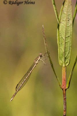 Sympecma fusca (Gemeine Winterlibelle) Männchen, 26.7.2021