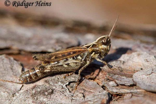 Myrmeleotettix maculatus (Gefleckte Keulenschrecke) Weibchen, 14.9.2020