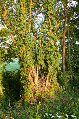 Humulus lupulus (Echter Hopfen), 28.7.2019