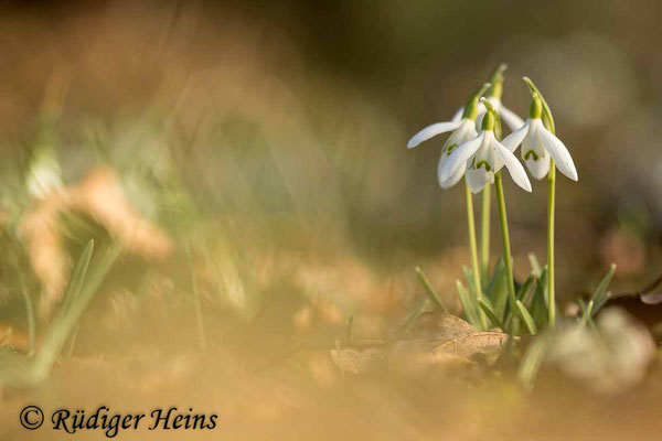 Galanthus nivalis (Schneeglöckchen), 24.2.2021