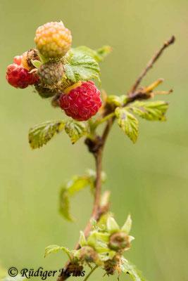 Rubus idaeus (Himbeere), 6.7.2020