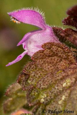 Lamium purpureum (Purpurrote Taubnessel), 22.3.2021