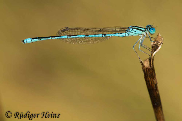 Erythromma lindenii (Pokaljungfer, Saphirauge) Männchen, 28.6.2021
