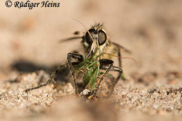 Dysmachus trigonus (Säbel-Raubfliege) Männchen mit Beute, 19.6.2021 - Makroobjektiv 180mm f/3.5
