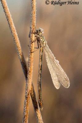 Lestes virens (Kleine Binsenjungfer) Weibchen, 3. November 2016 8:33 Uhr