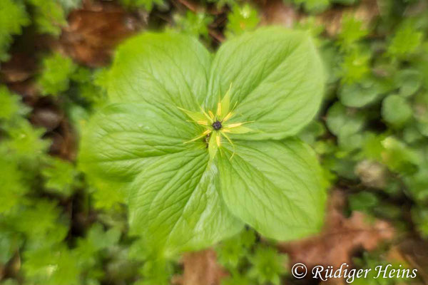 Paris quadrifolia (Vierblättrige Einbeere) mit fünf Blättern, 13.5.2021 - Pancolar 50mm f/1,8 (gedrehte Linse)