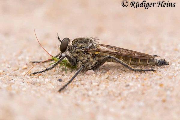 Philonicus albiceps (Sand-Raubfliege) Männchen, 30.7.2020