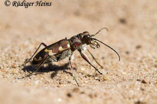 Cicindela hybrida (Dünen-Sandlaufkäfer), 5.8.2020