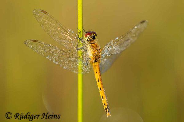 Sympetrum depressiusculum (Sumpf-Heidelibelle) Weibchen, 18.8.2016