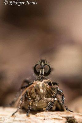 Tolmerus cingulatus (Burschen-Raubfliege) Männchen, 21.7.2020