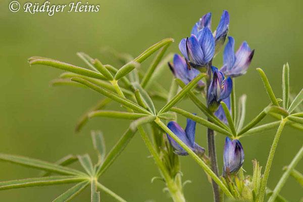 Lupinus angustifolius (Blaue Lupine), 6.7.2021