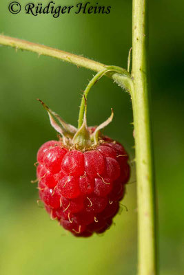 Rubus idaeus (Himbeere), 28.6.2018