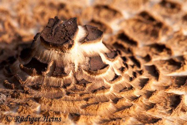 Macrolepiota procera (Parasol oder Riesenschirmpilz), 21.10.2012