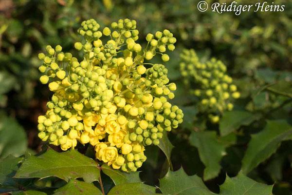 Mahonia aquifolium (Gewöhnliche Mahonie), 29.3.2019