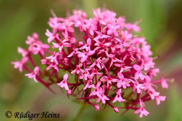 Centranthus ruber (Rote Spornblume), 16.10.2010