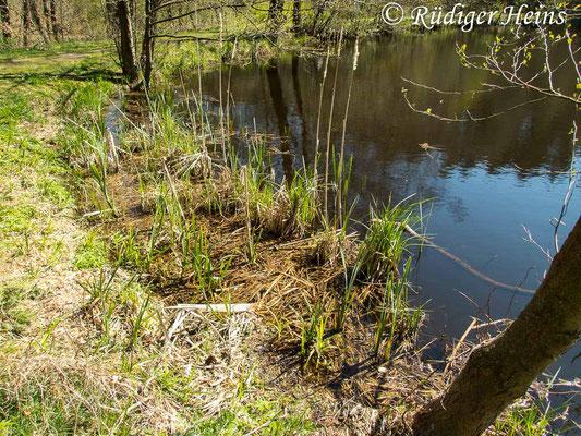 Sympecma fusca (Gemeine Winterlibelle) Fortpflanzungsgewässer, 20.4.2020