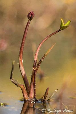 Menyanthes trifoliata (Fieberklee), 25.4.2021