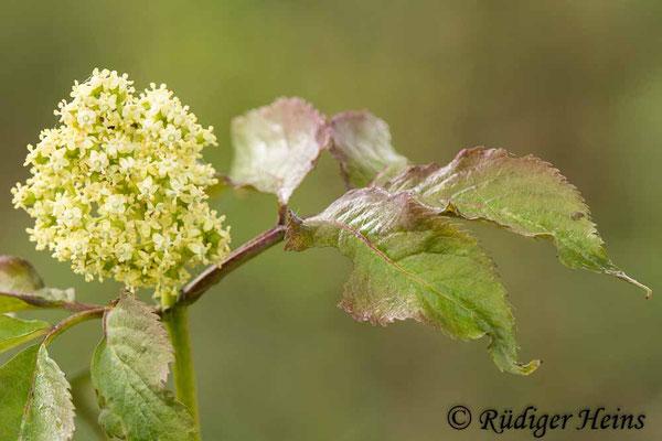 Sambucus nigra (Schwarzer Holunder), 19.5.2021