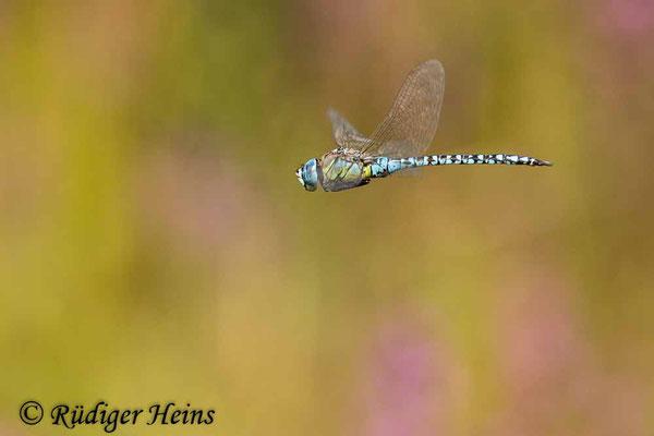 Aeshna affinis (Südliche Mosaikjungfer) Männchen im Flug, 26.7.2021 - Makroobjektiv 180mm f/3.5