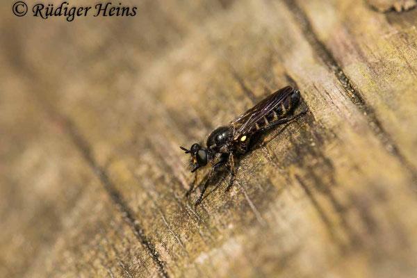 Choerades marginata (Gemeine Mordfliege) Männchen, 15.7.2020