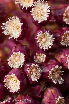 Petasites hybridus (Gewöhnliche Pestwurz), 24.3.2007
