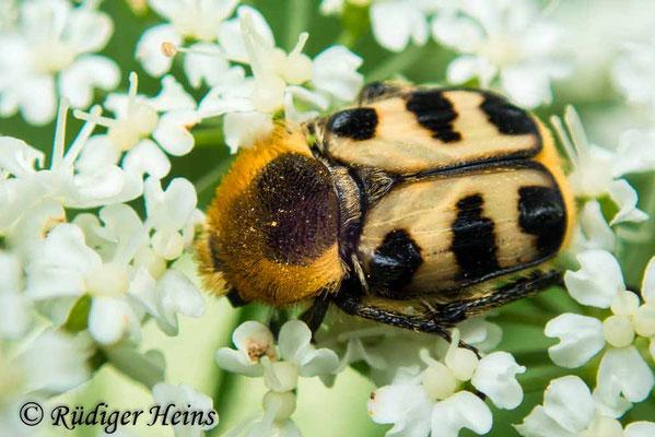 Trichius gallicus (Glattschieniger Pinselkäfer), 13.6.2020