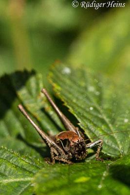 Pholidoptera griseoaptera (Gemeine Strauchschrecke) Männchen, 3.8.2019