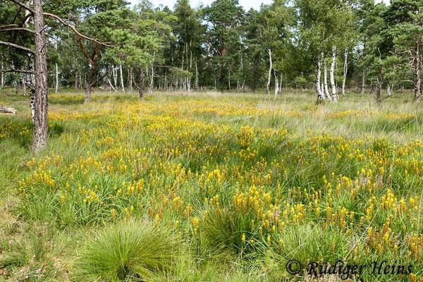 Narthecium ossifragum (Moorlilie, Beinbrech) Habitat, 29.7.2020