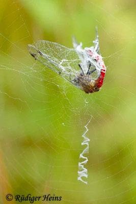 Sympetrum sanguineum (Blutrote Heidelibelle) Männchen im Spinnennetz, 22.7.2016