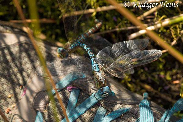 Aeshna affinis (Südliche Mosaikjungfer) Eiablage, 11.8.2021 - Makroobjektiv 180mm f/3.5