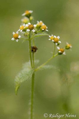 Galinsoga parviflora (Kleinblütiges Franzosenkraut), 11.11.2020