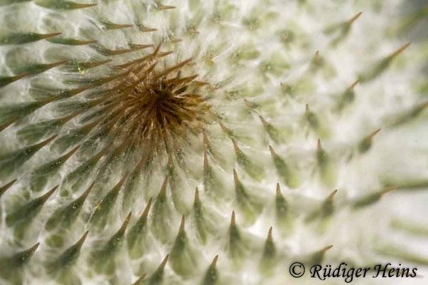 Onopordum acanthium (Gewöhnliche Eselsdistel) Knospe, 10.7.2019