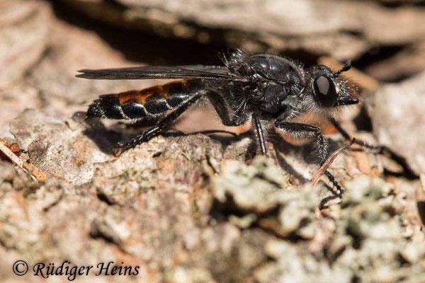 Choerades gilva (Karminrote Mordfliege) Weibchen, 7.7.2020