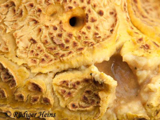 Scleroderma citrinum (Kartoffelbovist), 28.12.2011